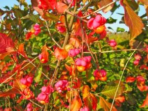 Fusain automne, espacevibrations.com